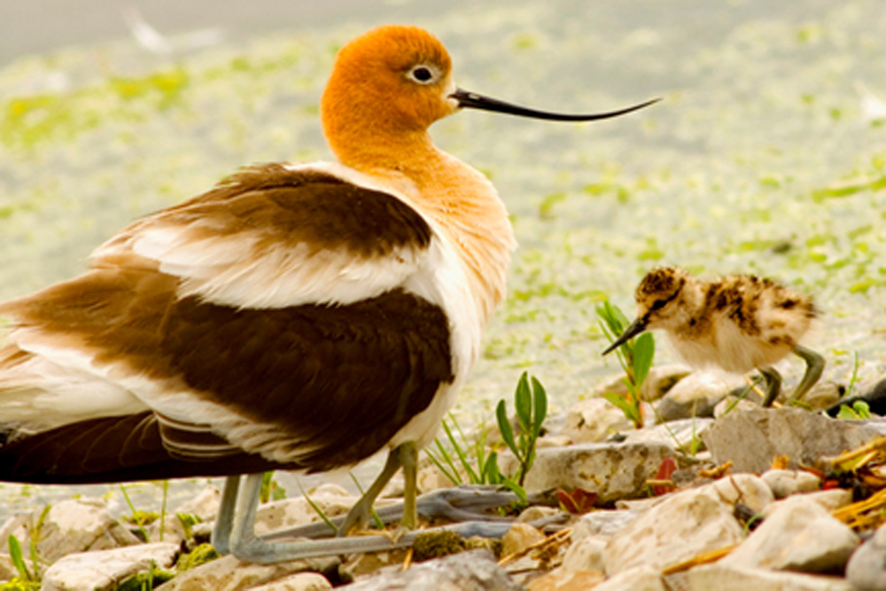photographyTour/American Avocet with baby - 72 dpi.jpg, American Avocet with her babes